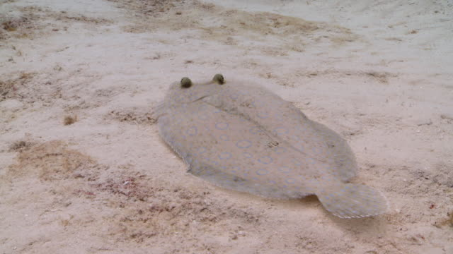 ms ts flounder pair on sand / playa del carmen, isla mujeres, mexico - flounder stock videos & royalty-free footage