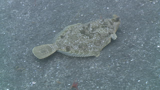 flounder -possibly starry flounder (platichthys stellatus or platichthys stellatus) on sea floor, locomotion and feeding  - pesce piatto video stock e b–roll