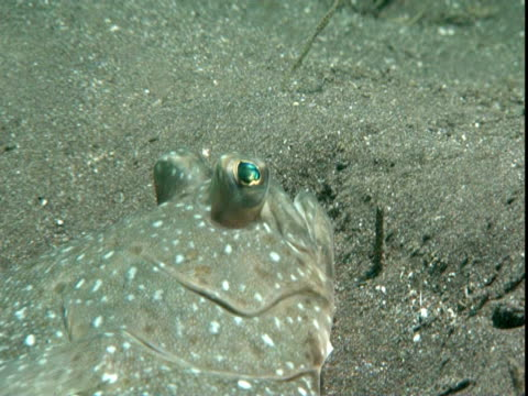 a flounder rests on a sandy seabed. - gill stock videos & royalty-free footage