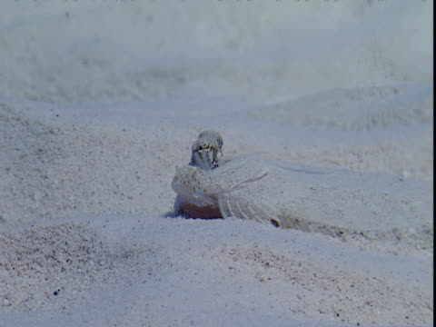 a flounder rests on the sand of a bahamian seabed. - history点の映像素材/bロール