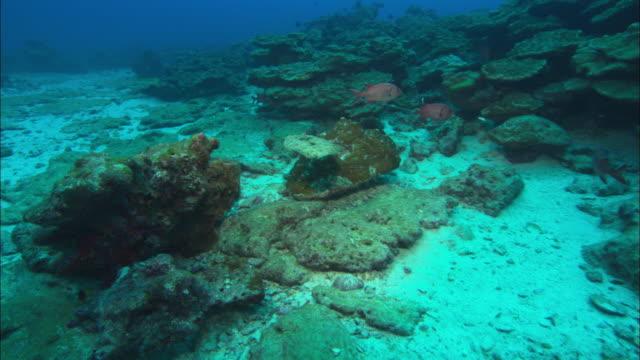 flounder swimming over reef, costa rica, pacific ocean  - gruppo medio di animali video stock e b–roll