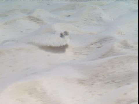 vídeos de stock e filmes b-roll de a flounder swims across the sandy seabed in the bahamas. - sargaço