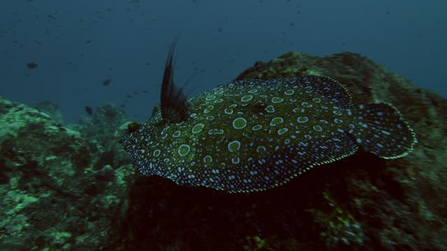 vídeos y material grabado en eventos de stock de flounder swims away from rock, ascension island. - camuflaje