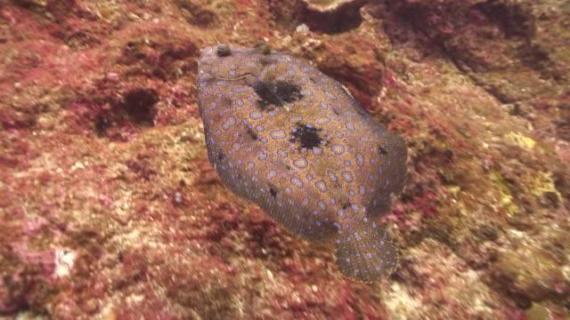 flounder - flounder stock videos & royalty-free footage