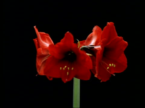 vídeos y material grabado en eventos de stock de t/l flower - 4 red buds opening to hippeastrum, rotating, flowers shrivelling and dying, black background - keyable