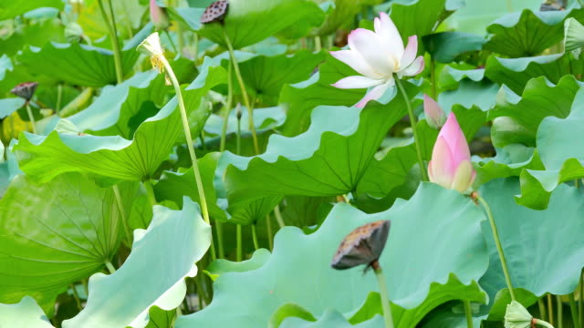 flower and leaf of lotus - sacred lotus stock videos and b-roll footage