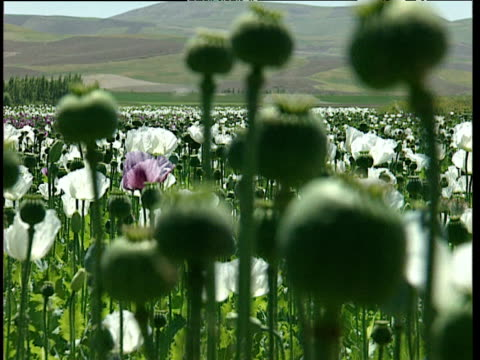 vidéos et rushes de flower and seed heads of opium poppies billow in wind in large field afghanistan - afghanistan