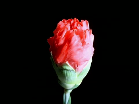 t/l flower - bcu bud opening to red carnation, black background - carnation flower stock videos & royalty-free footage