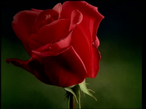 t/l flower - bcu bud opening to single red rose then wilting and petals dropping off, green background - single rose stock videos & royalty-free footage