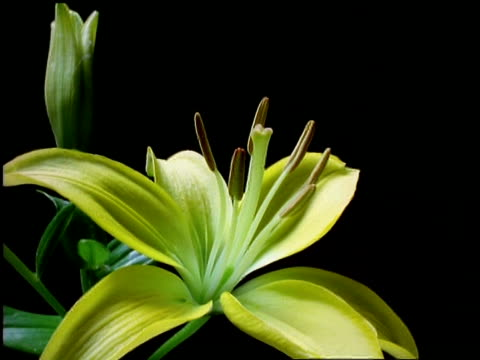 t/l flower - bcu bud opening to yellow day lily, camera rotates around it, black background - lily stock videos & royalty-free footage