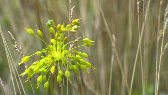 flower blooming in the reeds of thayatal national park in lower austria - lower austria stock-videos und b-roll-filmmaterial