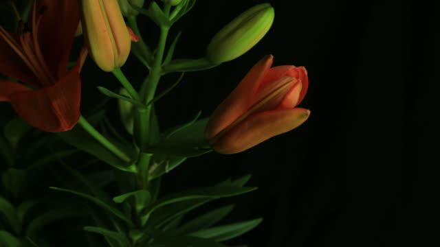 time lapse di fioriture fiori - giglio video stock e b–roll