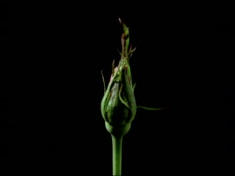 t/l flower - cu bud opening to pale pink rose, black background - bud stock videos & royalty-free footage