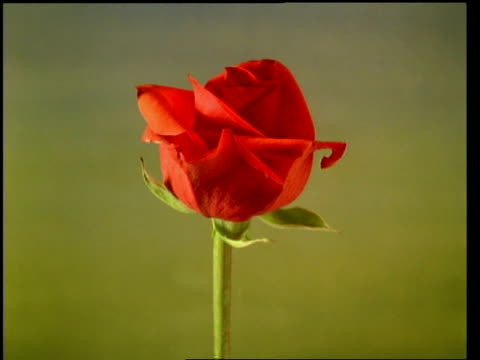 t/l flower - cu bud opening to single red rose then wilting, pale background - 一つ点の映像素材/bロール