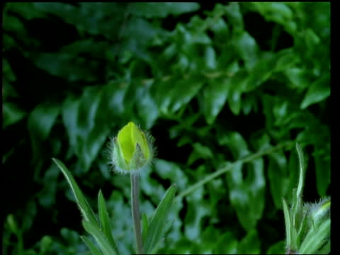 stockvideo's en b-roll-footage met t/l flower - cu bud opening to yellow buttercup, natural background - ranonkel