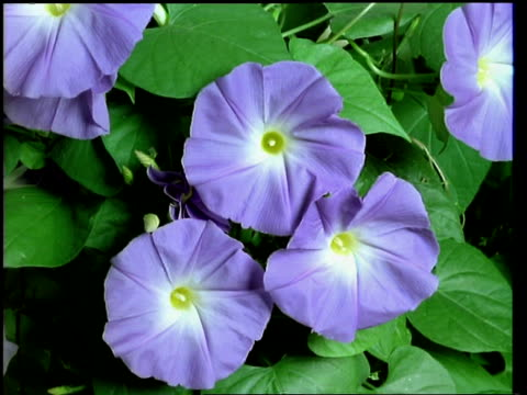 T/L flower - CU buds opening to purple/blue Morning glory flowers then withering, natural background