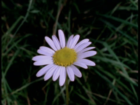 t/l flower - cu daisy opening then wilting, natural background - daisy stock videos & royalty-free footage
