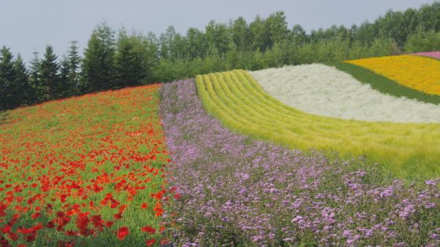vidéos et rushes de flower field at farm tomita in furano, hokkaido, japan - arbre en fleurs