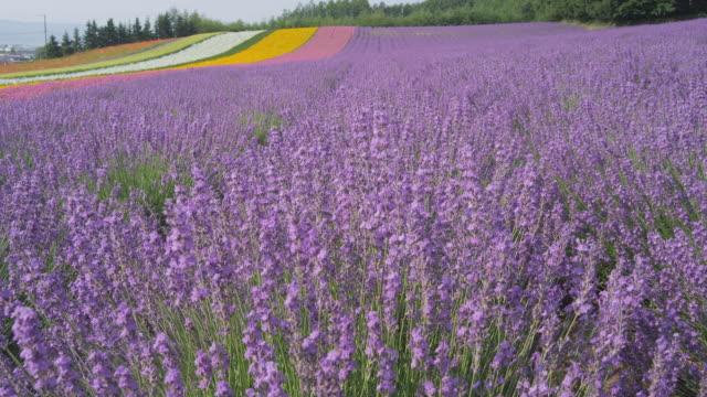 flower field at farm tomita in furano, hokkaido, japan - hokkaido stock videos & royalty-free footage