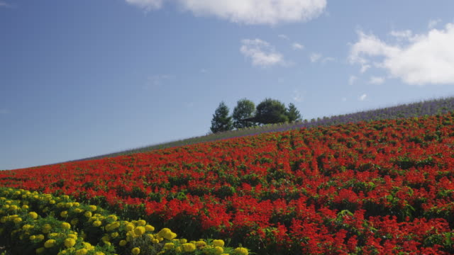 flower field at kanno farm in furano, hokkaido, japan - hokkaido stock videos & royalty-free footage