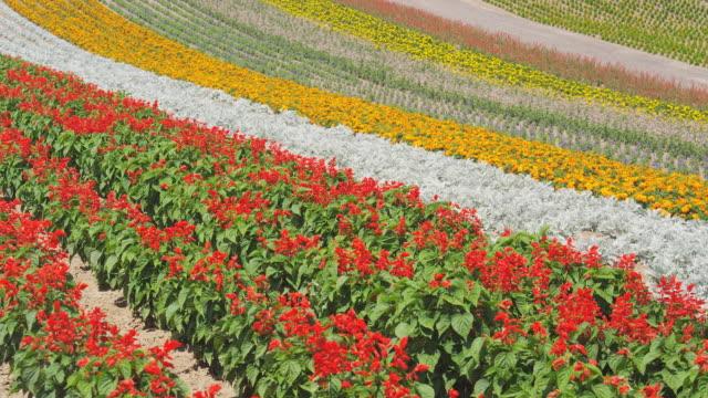 flower field in biei, hokkaido, japan - hokkaido stock videos & royalty-free footage