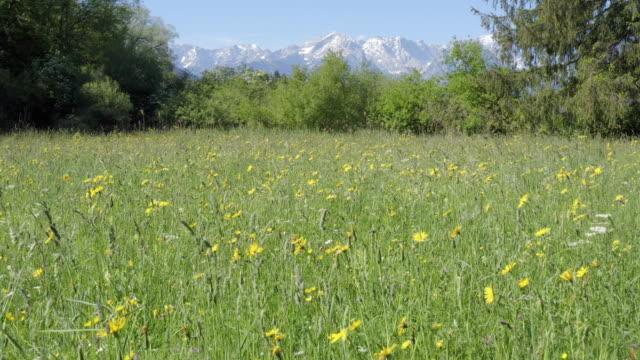 vídeos de stock, filmes e b-roll de flower field in mountain landscape 2 - montanha zugspitze
