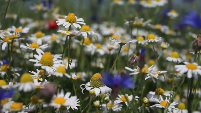 flower field with chamomiles and cornflowers - echtzeit stock videos & royalty-free footage