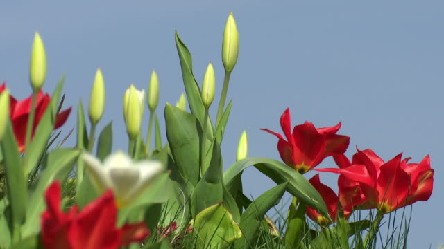 Flower Field With Tulips Against Blue Sky