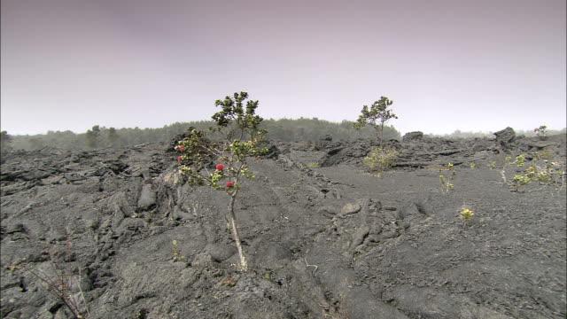 vídeos de stock e filmes b-roll de a flower grows in the ashes of a lava path. - cinza