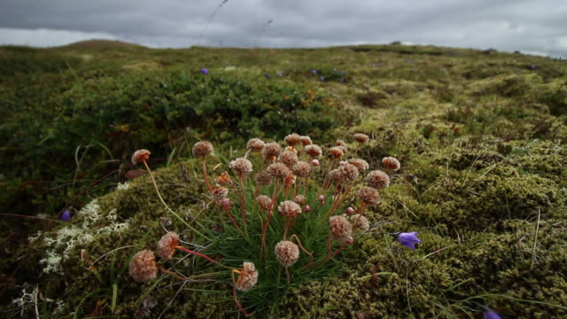 Flower Icelandic, between Iceland moss.