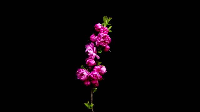 flower in bloom - pistil stock videos & royalty-free footage