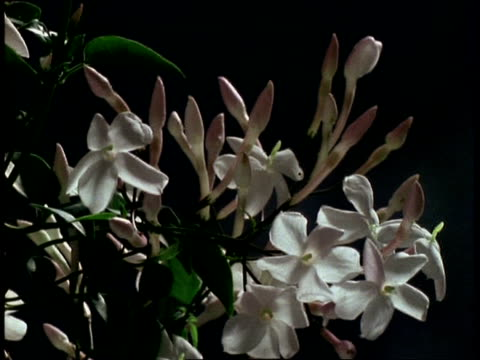 vidéos et rushes de t/l flower - mcu stem of buds opening to white jasmine then withering, grey background - jasmin