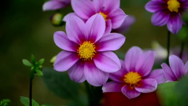 vidéos et rushes de fleur mouvements sur le vent - sans mise au point and équilibre