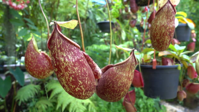 flower nepenthes, tropical pitcher plants or monkey cups - carnivorous plant stock videos and b-roll footage