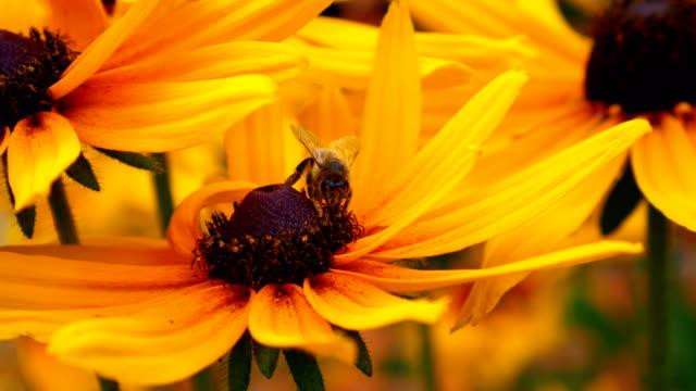 Bloem van een Echinacea met een bee.