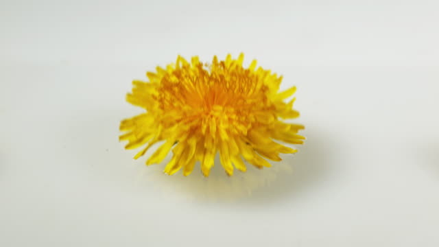 Flower of Common Dandelion, taraxacum officinale, falling on Water, Normandy, Slow motion 4K