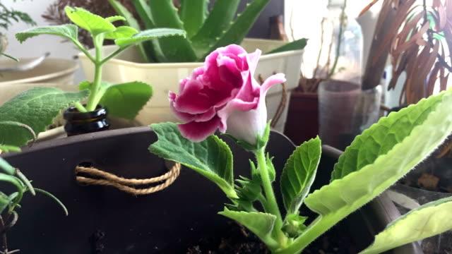 (timelapse) flower von gloxinie stand - erektion stock-videos und b-roll-filmmaterial