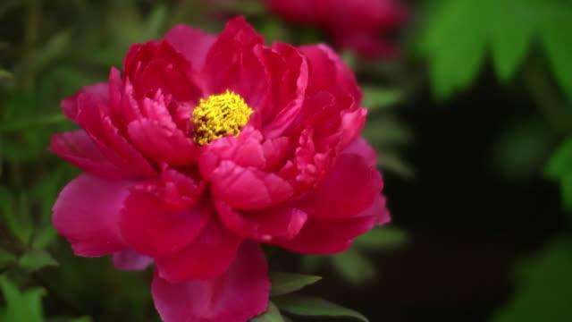 A Flower Of Peony