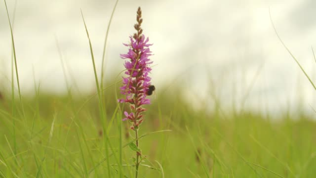 flower on meadow - bumblebee stock videos & royalty-free footage