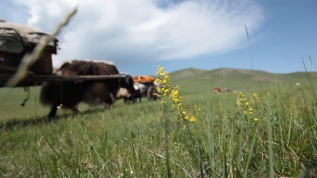 flower on the foreground and yaks moving on the background - liten djurflock bildbanksvideor och videomaterial från bakom kulisserna