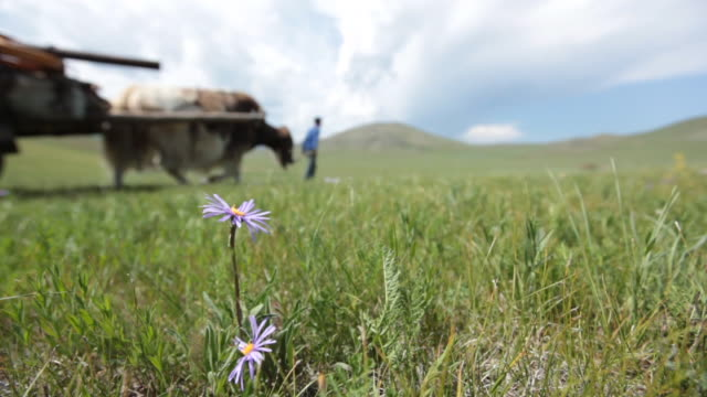 flower on the foreground and yaks moving on the background - animale da lavoro video stock e b–roll