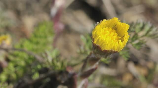 flower opening up, coltsfoot, Tussilago farfara