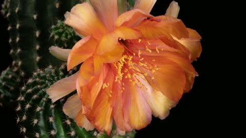 flower orange timelapse of blooming cactus - cactus stock videos & royalty-free footage