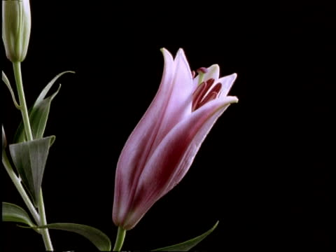 t/l flower - cu pink day lily opens, side view, black background - day lily stock videos & royalty-free footage