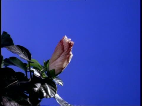 t/l flower - cu pink hibiscus opens and closes against blue screen - eibisch tropische blume stock-videos und b-roll-filmmaterial
