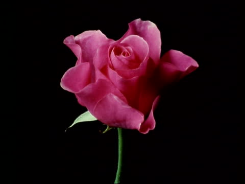 vidéos et rushes de cu t/l flower, pink rose blooming and dying, england - rose
