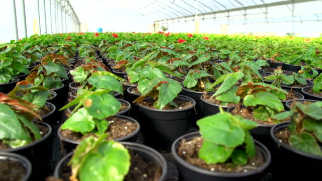 vídeos de stock, filmes e b-roll de hd dolly: plantas de flores em estufa - processo vegetal