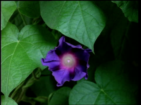 T/L flower - CU purple/blue Morning glory opens, changes colour then withers, natural background