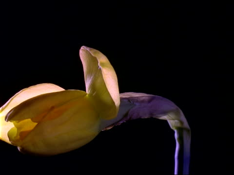 t/l flower - cu single yellow daffodil rotates and opens, black background - daffodil stock videos & royalty-free footage