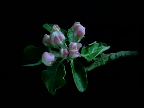 t/l flower - cu stem of pink apple blossom opening to white flowers then going over, black background - しおれている点の映像素材/bロール